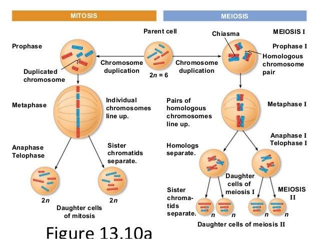 2n 6 Meiosis Diagram