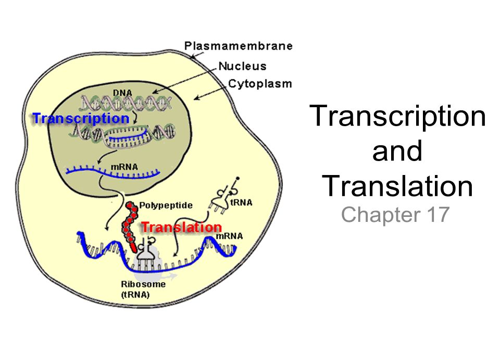 Venn Diagram Of Transcription And Translation